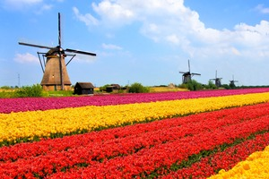 Tulip fields in the Netherlands