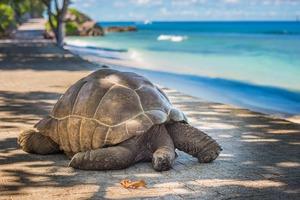 Giant tortoise - Aldabra Atoll