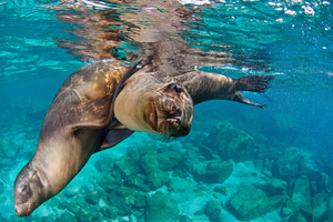 Sea Lions, Baja California