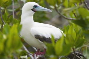 Red-footed booby on Genovesa island, Galapagos