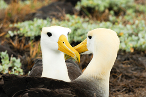 Yellow headed waved albatross on Española island, Galapagos