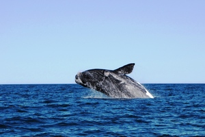 Whale off the coast of Puerto Madryn, Argentina