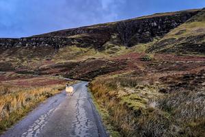 Sheep on the Isle of Raasay, Scotland