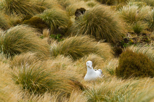 Nesting royal albatross on Campbell Island, New Zealand