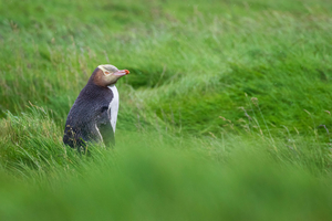 Yellow-eyed penguin on Enderby Island, New Zealand