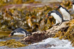 Crested penguins on Snares Islands, New Zealand