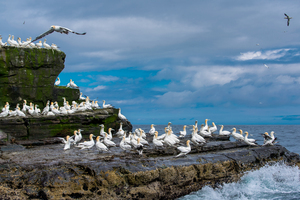 Gannets on the Isle of Noss, Scotland