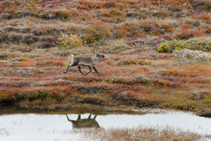 Caribou in Kangerlussuaq, Greenland