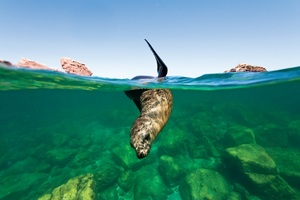 sea lion Sea of Cortez