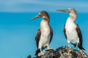 Blue footed boobies in Elizabeth Bay on Isabela, Galapagos