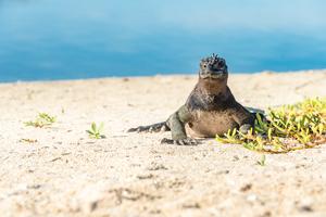 Marine iguana on Las Bachas beach, Santa Cruz, Galapagos