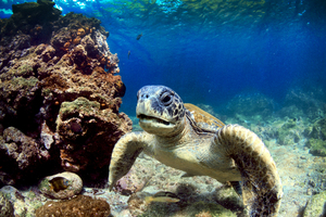 Sea turtle in the Galapagos
