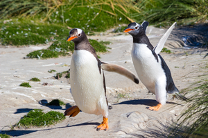 Gentoo penguins on New Island, Falklands