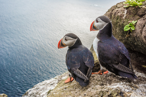Puffins on Latrabjarg Cliffs, Iceland