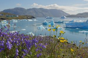 Flowers in Narsaq, Greenland
