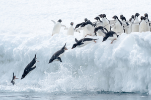 Adelie penguins in the Antarctic Sound