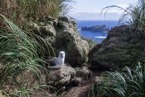 Atlantic yellow-nosed albatross on Nightingale Island, Tristan da Cunha