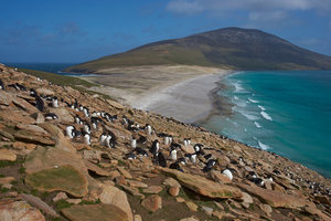 Rockhopper penguins on The Neck, Saunders Island, Falklands
