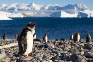 Gentoo penguins on Cuverville Island, Antarctica