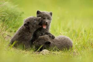 Arctic fox cubs in Hornstrandir, Iceland