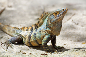 Black spiny-tailed iguana in Manuel Antonio National Park, Costa Rica