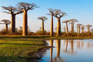 Baobab trees, Morondava