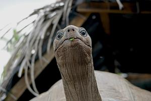 Aldabra giant tortoise on Alphonse Island, Seychelles
