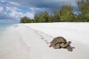 Giant tortoise on Aldabra Atoll, Seychelles
