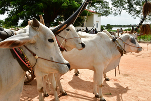 Cattle in Kampong Tralach, Cambodia