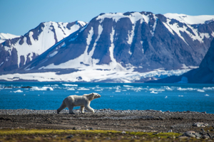Polar bear on Spitsbergen, Svalbard archipelago