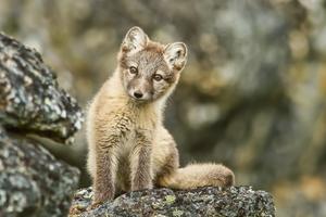 Arctic fox, Svalbard archipelago