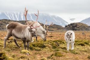Reindeer in the Svalbard archipelago
