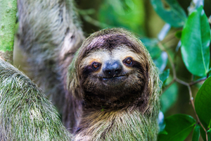 Sloth in Manuel Antonio National Park, Costa Rica