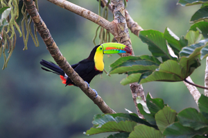 Toucan in Costa Rica