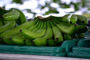 Green bananas in Machala, Ecuador