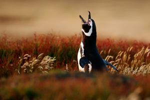 Magellanic penguin on the Falkland Islands