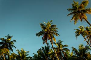 Palm trees on Alphonse Atoll, Seychelles
