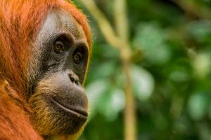 Orang utan in Gunung Leuser National Park, Indonesia
