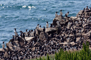 Guillemots on Lunga, Treshnish Isles, Scotland