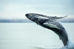 Humpback whale off Husavik, Iceland