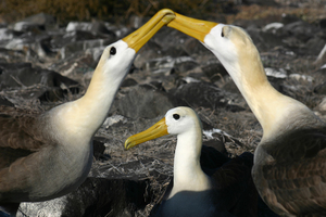 Waved albatross courting on Española island, Galapagos
