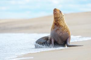 Sea lion on Sakhalin Island, Russia