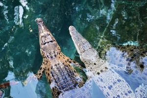 Juvenile crocodiles in Darwin, Australia
