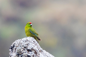 Reischek's parakeet, Antipodes Islands, New Zealand