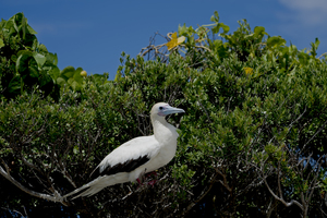 Red-footed booby, Aldabra Atoll, Seychelles