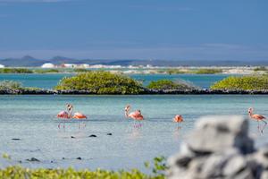 Flamingos on Bonaire