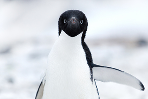 Adelie penguin at Cape Adare in the Ross Sea, Antarctica