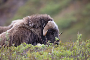 Musk ox in Nome, Alaska