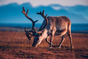 Reindeer in Svalbard in summer