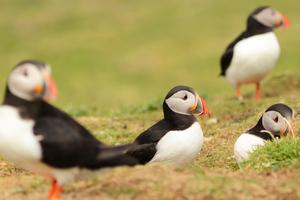 Puffins on Lunga, Treshnish Isles